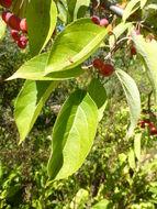 Image of <i>Malus sikkimensis</i> (Wenz.) Koehne