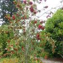 صورة <i>Sorbus decora</i> (Sarg.) Schneid.