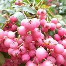 Image of <i>Sorbus macrantha</i> Merr.