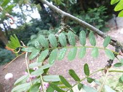 Image of <i>Sorbus pseudovilmorinii</i> Mc All.