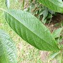 Image of <i>Melliodendron xylocarpum</i> Hand.-Mazz.