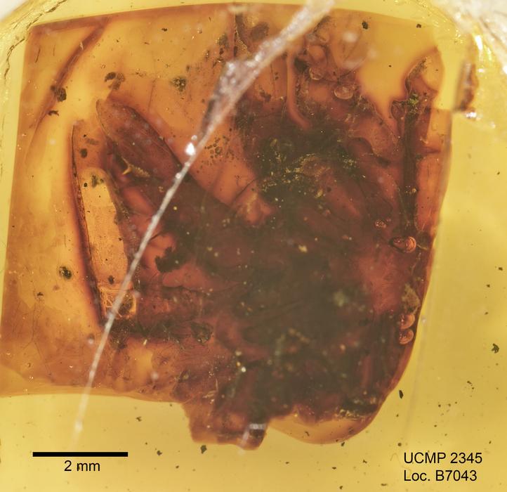 Image of <i>Electrophrynus mirus</i> Petrunkevitch 1971