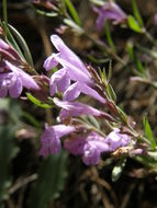 Image of aromatic false pennyroyal