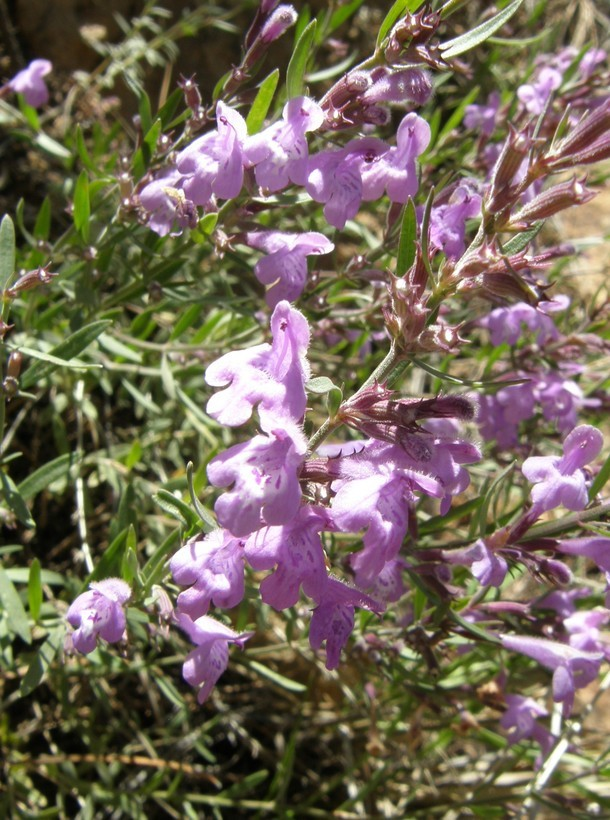 Image of aromatic false pennyroyal