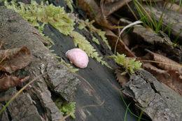 Image of <i>Reticularia splendens</i> var. <i>jurana</i>