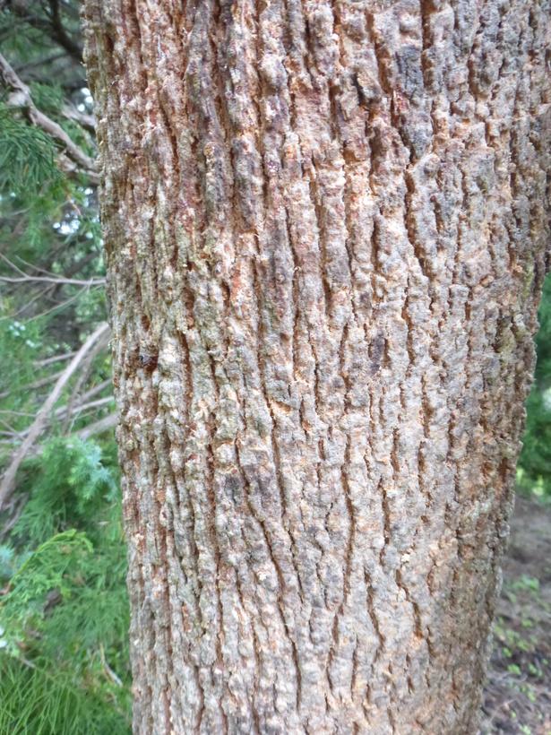 Image of <i>Angophora melanoxylon</i> F. Müll. ex R. T. Baker