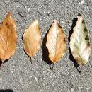 Image of <i>Quercus benthamii</i> A. DC.