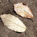 Image of <i>Quercus candicans</i> Née