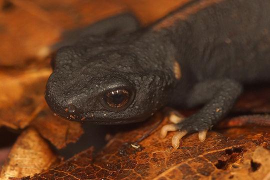 Image of Tiannan Crocodile Newt