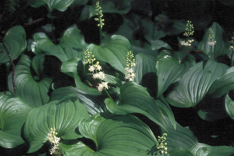 Image of false lily of the valley