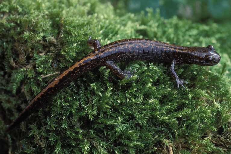 Image of Japanese clawed salamander
