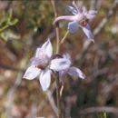 Image of <i>Delphinium <i>parishii</i></i> ssp. parishii