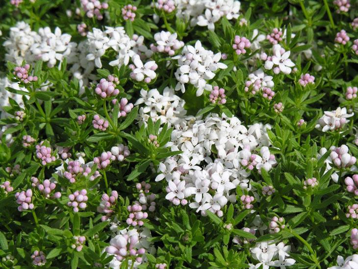Image of <i>Asperula hirta</i> Ramond