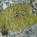 Image of orange lichen