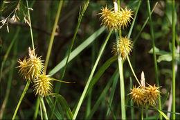 Image of yellow sedge