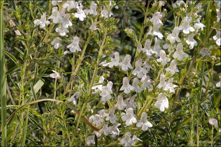 Image of <i>Satureja montana</i> ssp. <i>variegata</i> (Host) P. W. Ball