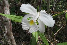 Image of <i>Sobralia liliastrum</i> Lindl.