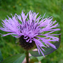 Image of greater knapweed
