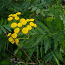 Image of common tansy