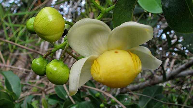 Image of <i>Eschweilera ovata</i> (Cambess.) Mart. ex Miers