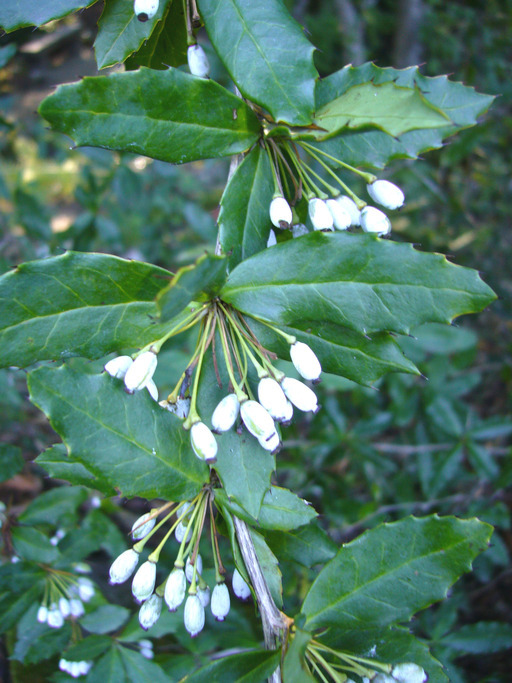 Image of Sargent's barberry