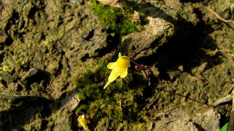 Image of <i>Utricularia triloba</i> Benj.