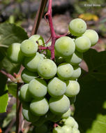 Image of California wild grape