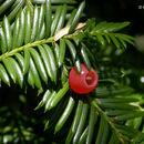 Image of <i>Taxus brevifolia</i> Nutt.