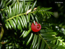 Image of Canadian Yew