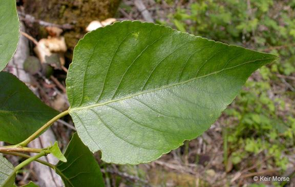 Image of Black Cottonwood