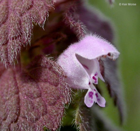 Image of purple archangel