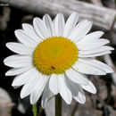 Image of Oxeye Daisy