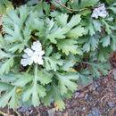 Image of <i>Chrysanthemum zawadskii</i> Herbich
