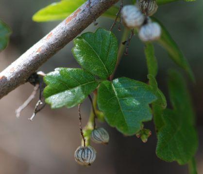 Image of Pacific poison oak