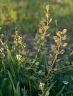 Image of shining pepperweed