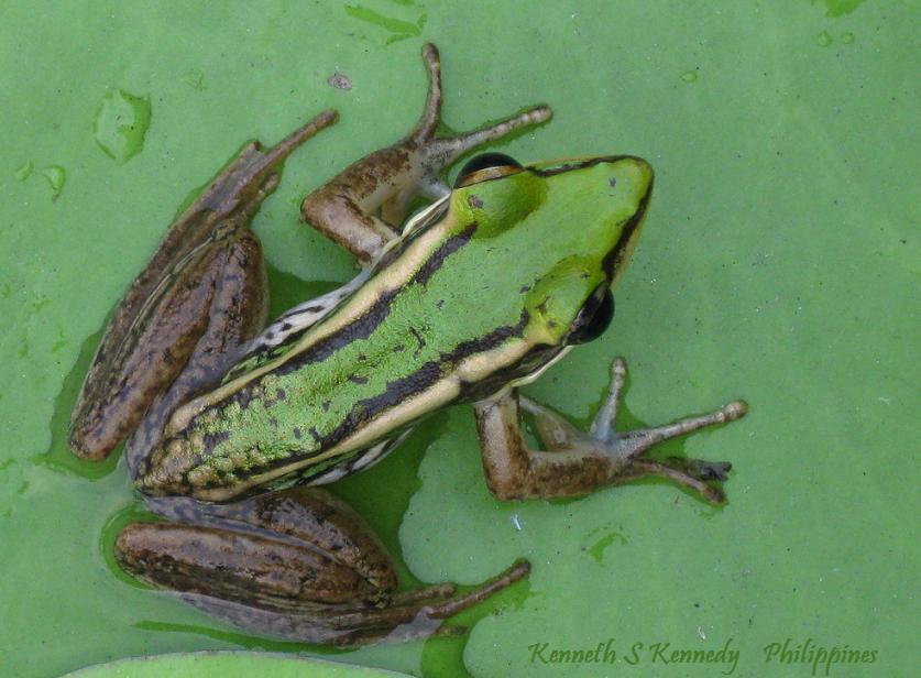 Image of Common Green Frog