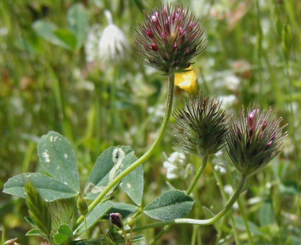 Image of rancheria clover
