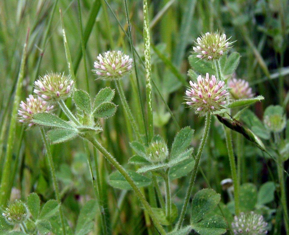 Image of smallhead clover