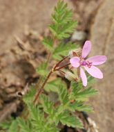 Image of Common Stork's-bill