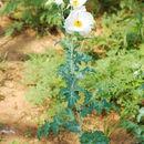 Image of bluestem pricklypoppy