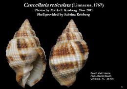 Image of <i>Cancellaria reticulata</i> (Linnaeus 1767)