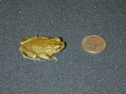 Image of Blanford's Toad