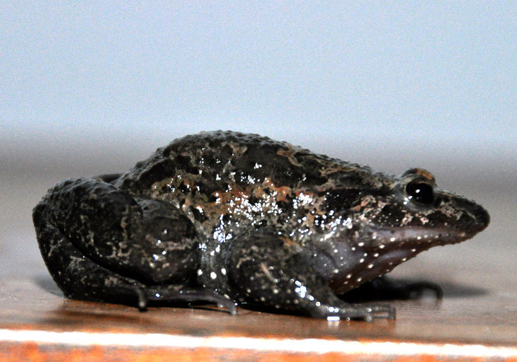 Image of Hula Painted Frog