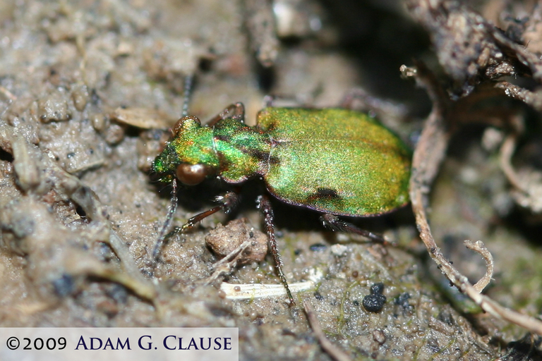 Image of Delta Green Ground Beetle