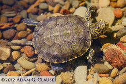 Image of Western Pond Turtle