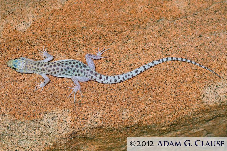 Image of Sandstone Night Lizard
