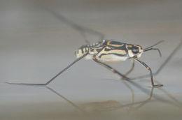 Image of Trepobates