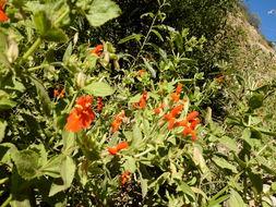 Image of scarlet monkeyflower