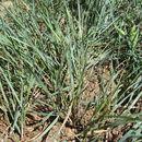 Image of <i>Elymus smithii</i> (Rydb.) Gould