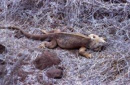 Image of Barrington Land Iguana